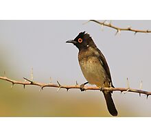 Red-eyed Bulbul - Exotic Colorful Wild Birds from Africa Photographic Print