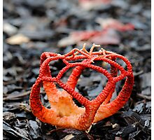 Red Cage Fungus Photographic Print