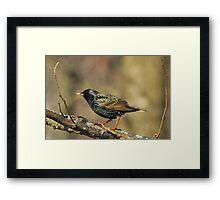 European Starling - Colorful Wild Birds - Iridescent Green Framed Print