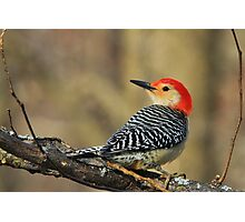Red Bellied Woodpecker - Exotic Colorful Wild Birds - Colors in Nature Photographic Print