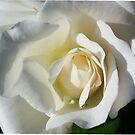 White Rose..Love, Gratitude, Appreciation by jewd barclay