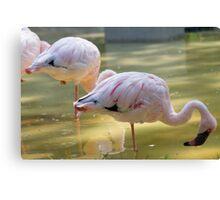 lesser flamingo Phoeniconaias minor Canvas Print