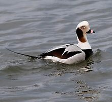 Long Tailed Duck by Dennis Cheeseman