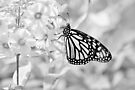 Monarch in monochrome by Laurie Minor