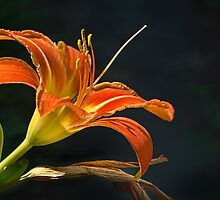 Day Lily - June 2014 by cclaude