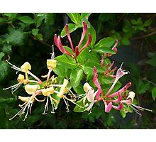 Sweet honeysuckle trio Photographic Print