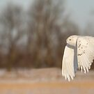 Snowy Owl 2016-8 by Thomas Young