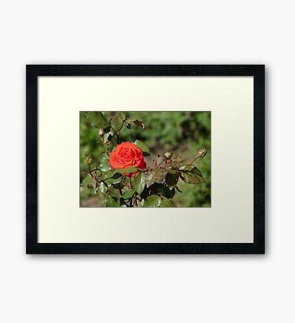flowering bush red rose Framed Print