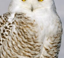 Contented Snowy Owl Sticker