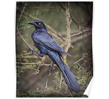 Great-tailed Grackle: BL9A5269 Poster