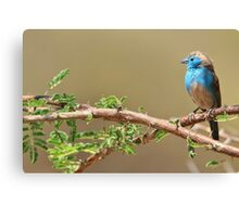 Blue Waxbill - Colorful Wild Birds from Africa - Beautiful Bliss Canvas Print