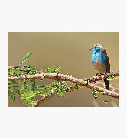 Blue Waxbill - Colorful Wild Birds from Africa - Beautiful Bliss Photographic Print
