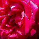 Rose of Love & Gratitude by jewd barclay