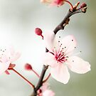 Prunus by JEZ22