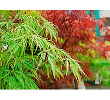 Green and Red Acer Leaves Photographic Print