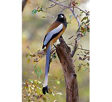Rufous treepie Photographic Print