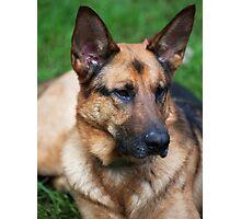 Max the German Shepherd Photographic Print