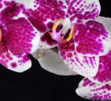 Orchid 2 Sticker