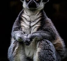 Portrait Of A Ring Tailed Lemur by Chris Lord
