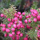Pink Mountain Berries, Cradle Mountain, Tasmania, Australia. by kaysharp