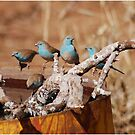 GETTING TOGETHER - BLUE WAXBILL – Uraeginthus angolensis by Magriet Meintjes