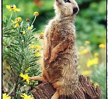 meerkat magic by roger smith