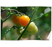 Orange Tomatoes Ripening on the Vine Poster
