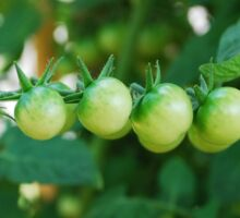 Green Tomatoes on the Vine Sticker