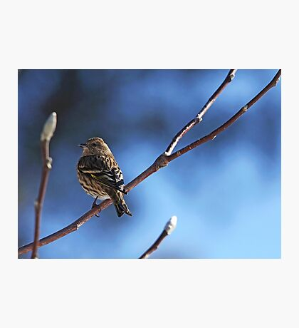 Siskin On Magnolia Branch Photographic Print