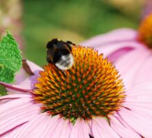 Echinacea Purpurea with Bee  Sticker