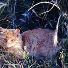 Orange Tabby in The Tall Grass by Marcie Alban