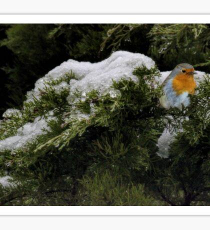 Robin in the winter Sticker