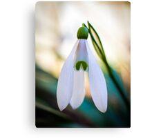 Single Snowdrop flower Canvas Print