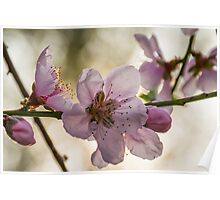 Nectarine Blossoms Poster