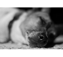 Sleeping Jack Russell  Photographic Print