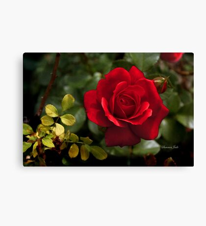 My Love is Like a Red, Red Rose... Canvas Print