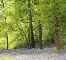 Bluebells at Brathay woods Ambleside. Sticker