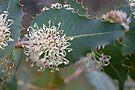 Prickly Hakea-Hakea amplexicaulis South-west of Western Australia by Leonie Mac Lean