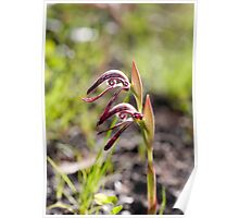Red Beak Orchid of Australia. Poster