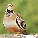 Red Legged Partridge by Liz Lane