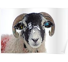 Swaledale Sheep in Winter Snow Poster