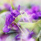 Veilchen by Martina Cross
