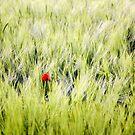 Mohn im Feld by Martina Cross