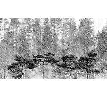21.2.2016: Pine Trees in Sleet Photographic Print