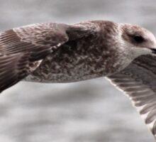 Young Lesser Black-backed Gull In Full Flight Sticker