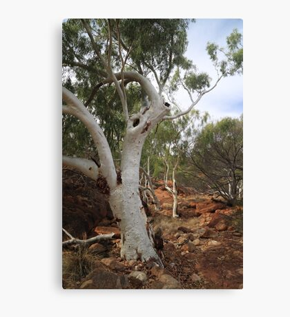 Old Gum Tree Canvas Print
