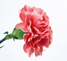 Pink Carnation by Anaa