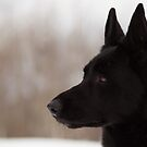 Black German Shepherd II by Megan Noble