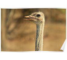Ostrich Profile - African Wild Bird Backgrounds - Wild Neck Poster