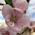 Cerryblossom       Kirschblüte by Heidi Mooney-Hill